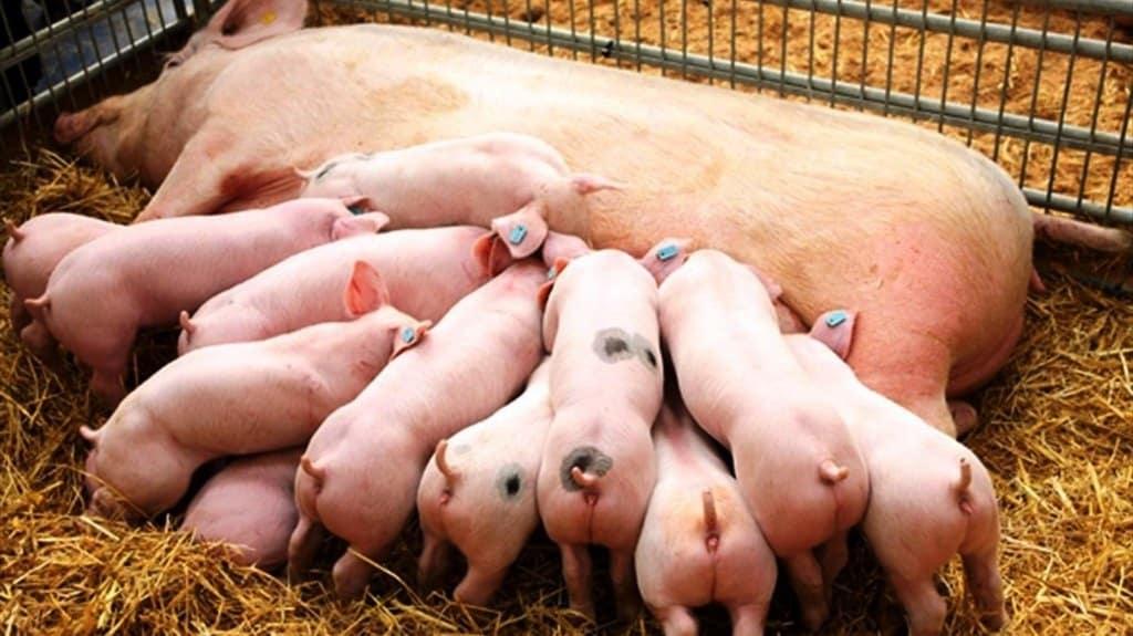 Animales-domesticos-de-la-granja-reproduccion